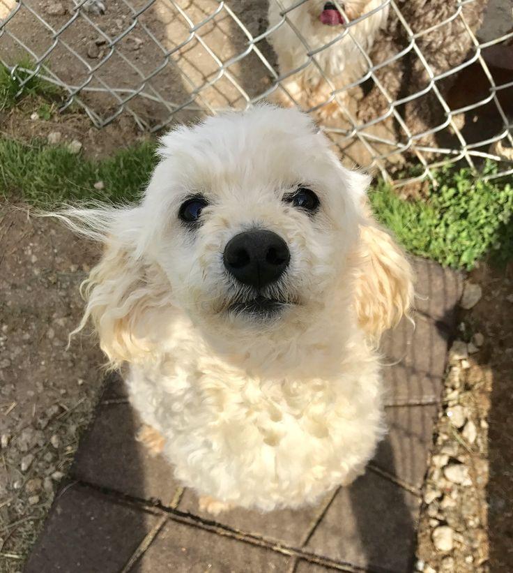 Poodle (Miniature) dog for Adoption in Pacolet, SC. ADN-714405 on PuppyFinder.com Gender: Male. Age: Young