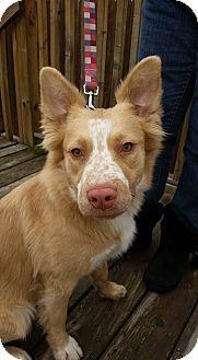 Detroit, MI - Australian Shepherd/Shepherd (Unknown Type) Mix. Meet Freckles, a dog for adoption. http://www.adoptapet.com/pet/14772605-detroit-michigan-australian-shepherd-mix