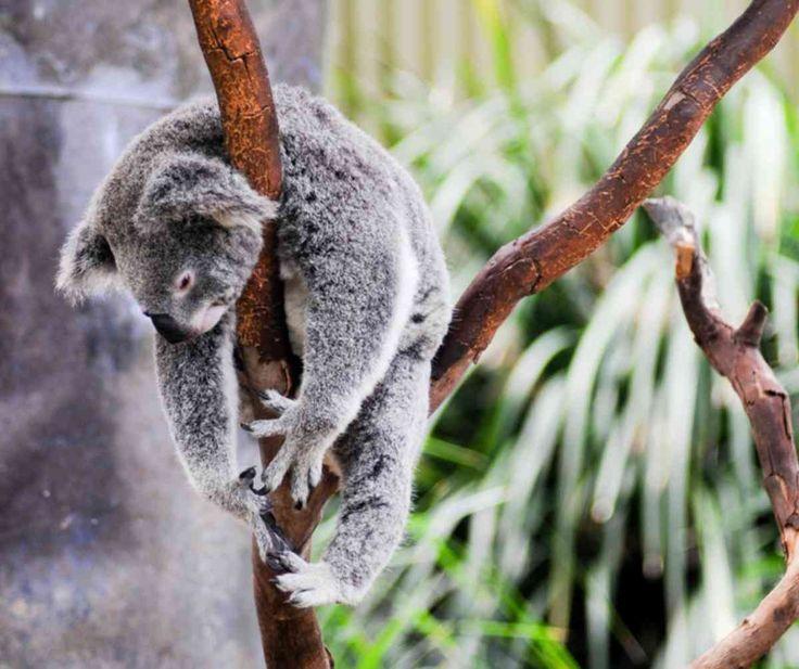 Healthiest NSW koala colony at risk - Sky News Australia #757Live