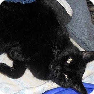 Denver, CO - Domestic Shorthair. Meet Bruja, a cat for adoption. http://www.adoptapet.com/pet/8417370-denver-colorado-cat
