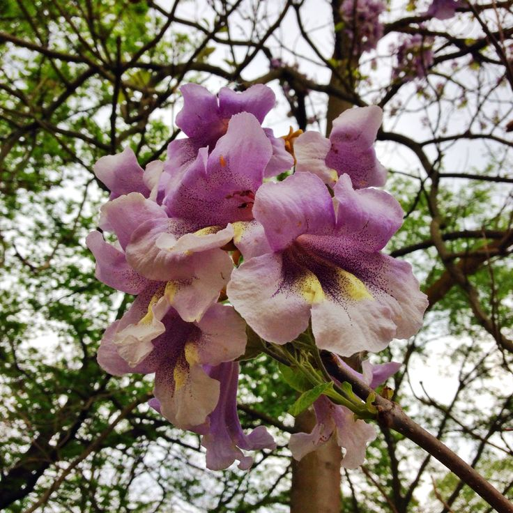 Blauglockenbaumblüte