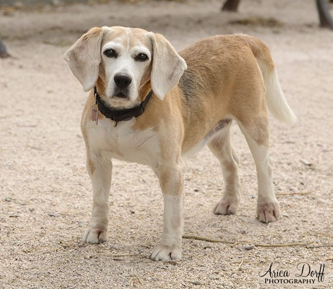 Beagle Dog For Adoption In Las Vegas Nv Adn 639893 On