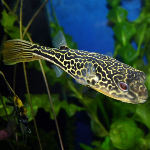 Mbu puffer tetraodon mbu small the o 39 jays babies for Giant puffer fish