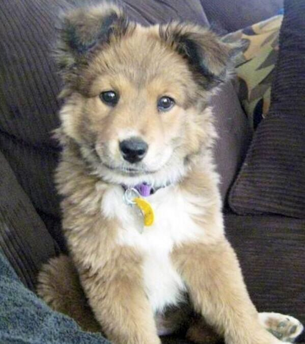 German Shepard/ golden retriever mix-- what I would think Carty looked like as a baby..