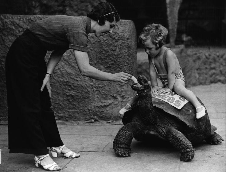IlPost - A bordo di una tartaruga - Una bambina sul dorso di una tartaruga (che mangia una banana) nel 1937  (Fox Photos/Getty Images)