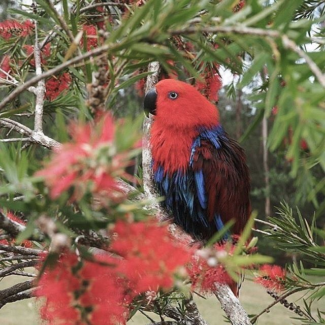 """#Repost Thanks to one of our amazing suppliers @parisbourke!! We can see where you get your inspiration from!  ___ """"Look at this beauty! Australian birds are stunning! . . . #PugglePost #PugglePosse #WhoMadeMyGift #OnlineToyStore #SupportLocal #InspiredByAustrali #Parrot #Bird #Australia #Iconic #Colours #Red #DiscoverAustralia #TravelGame #TheMapGame #Mumpreneur #SmallBiz #CreativeKids #HandsOnLearning #KidsGames #LoveAustralia #LifeWithKids #MakeMoments #KidsGifts #ChildrensGifts…"""