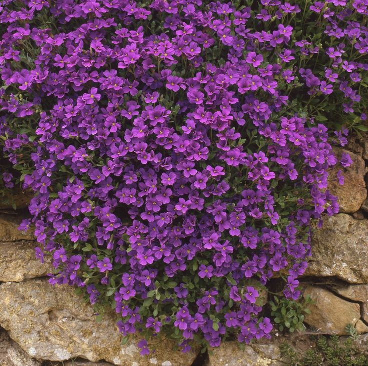 Aubretia perennial evergreen plant evergreen perennial for Easy maintenance perennials