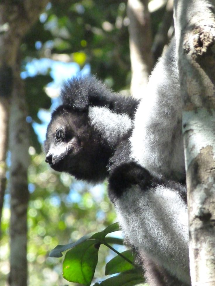 Indri at Andasibe, taken by our travellers Sarah and Bob
