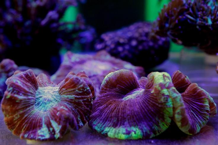 Lobo Coral