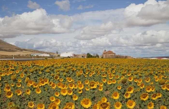 Campos. España- Campos de girasoles siempre de frente al sol