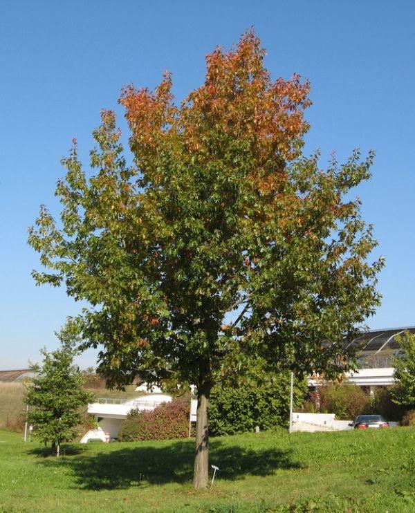 Red Oak Tree ~ Best images about landscape on pinterest sun front