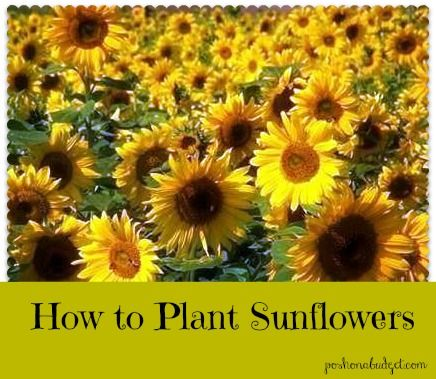 Sunflowers are my favorite! I must have a field full of them one day. I love how they position themselves toward the sun...just like we should always be positioning ourselves toward the Son.