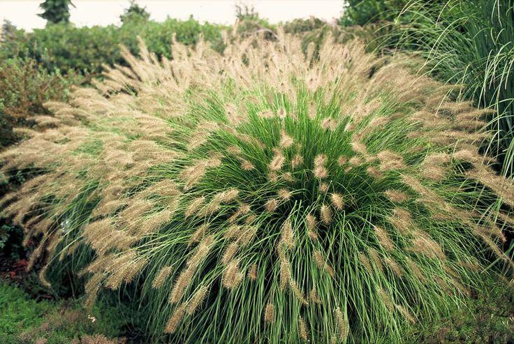 Lampborstgr s pennisetum alopecuroides 39 hameln for Wild ornamental grasses