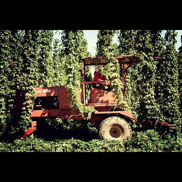 Rogue Ales Hop Harvest: Trimming. The harvest begins with cutting the bines just above the ground. Then large machines go through the hopyard and cut the bines from the wires. The loose bines fall into trucks and are brought to the processing area.