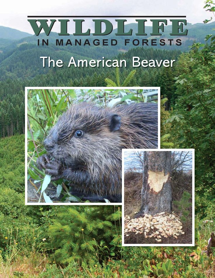 The American beaver, by the Oregon Forest Resources Institute