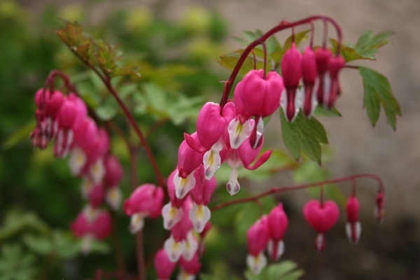 Plant of the week 18 - Decentra spectabilis - Bleeding Heart - but watch out for a name change to Lamprocapnos spectabilis!  Plants form a bushy, upright mound of light green foliage, of fern-like appearance. Dangling bright-pink locket-shaped flowers are held on arching stems, excellent for cutting.   Dicentra performs best in a rich, moist soil with partial shade, or at least protection from hot afternoon sun. Forms include alba, with pure white flowers and Gold Heart, with yellow foliage.