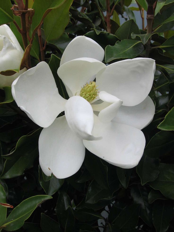 10 best magnolia grandiflora decor images on pinterest - Magnolia grandiflora ...