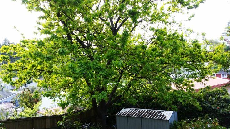 Oak Tree in the bottom of our garden