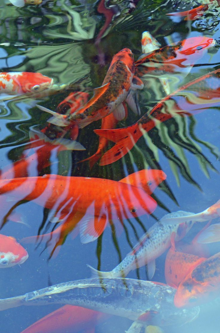 Pin by donna picard on koi pinterest photos and koi for Koi pool paint