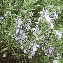 Commun dans les lieux arides du Midi, le romarin est un arbrisseau à feuilles linéaires, coriaces et persistantes, blanchâtres en dessous et très odorantes. Les fleurs bleues attirent les abeilles.Le romarin pointe du raz est une variété rampante. Le romarin supporte les sols pauvres, arides et très calcaires. Il craint les excès d'humidité. On le