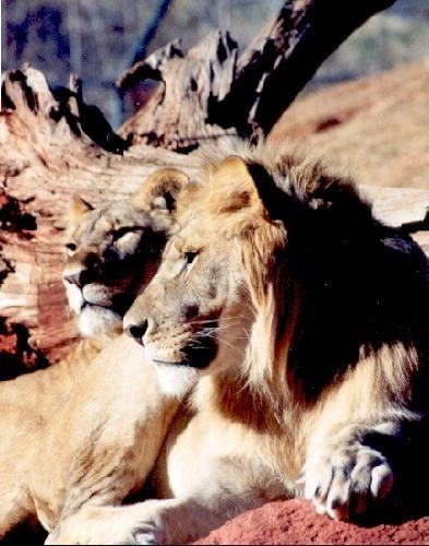 OK Zoo - Lion and Lioness