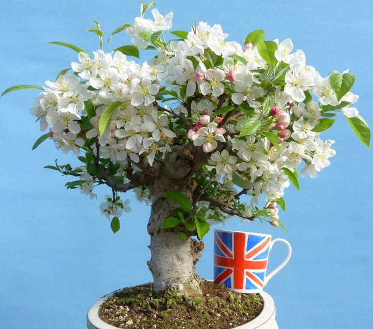 Crab Apple Bonsai Flowering Bonsai Tree - Large Trunk For Sale