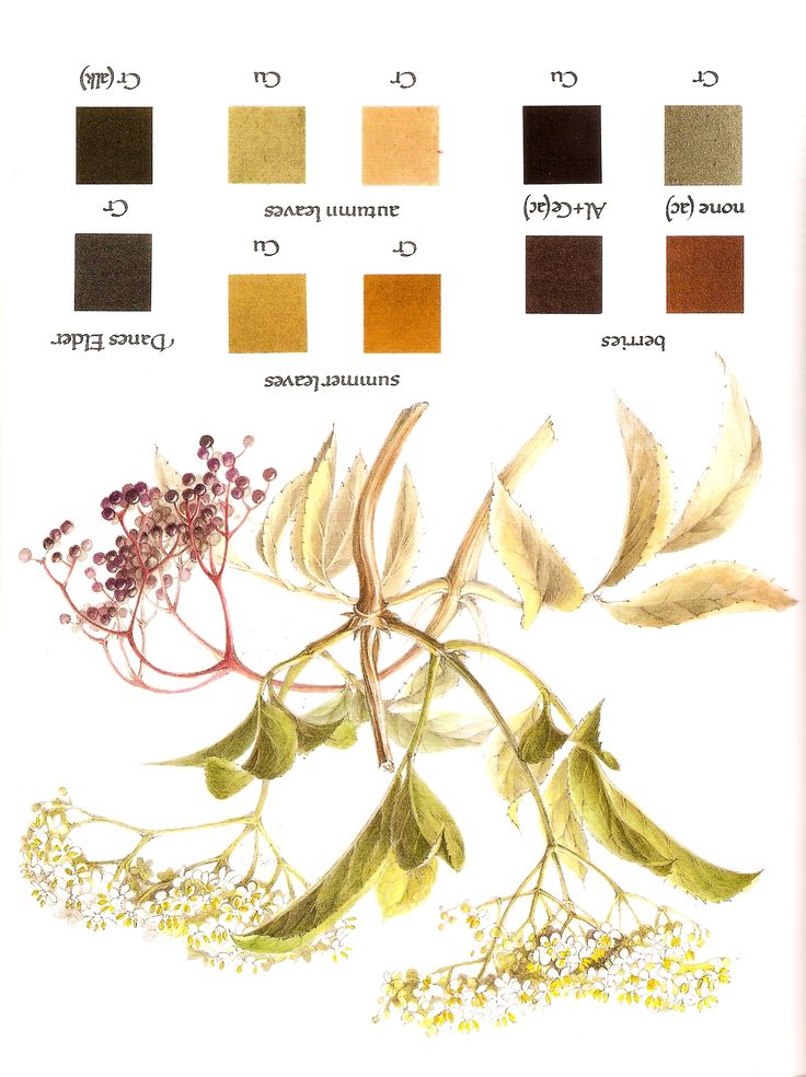 Natural dyeing: elderberry