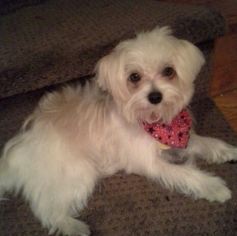 Ollie Morkie One year old Rescued from a puppy mill in