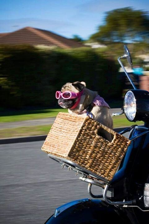 Get your motor running Head out on the highway Looking for adventure In whatever comes our way Take the world in a LOVE embrace :D #pug #PugWorld
