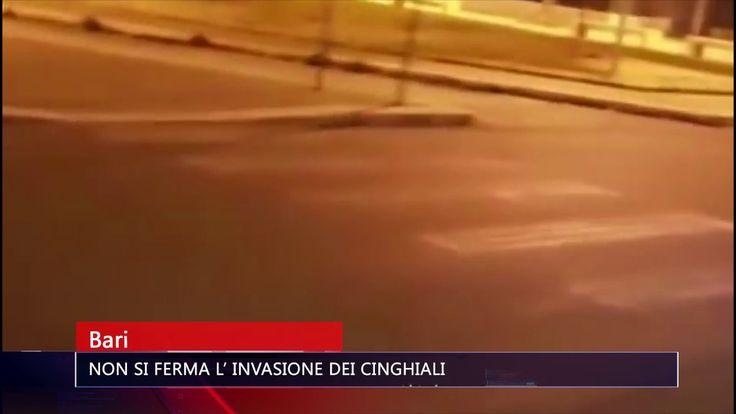 BARI NON SI FERMA L' INVASIONE DEI CINGHIALI   TG TELE APPULA 211