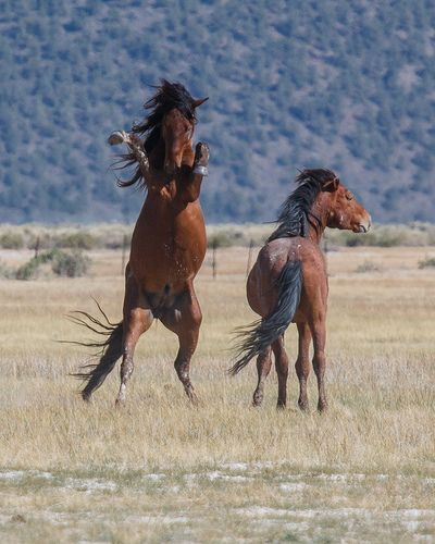wild mustangs horse  animal and animal kingdom wild mustangs nevada wild mustang shelties
