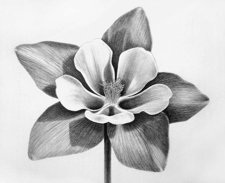columbine+flower | Rocky Mountain Columbine | I Sketch Pets