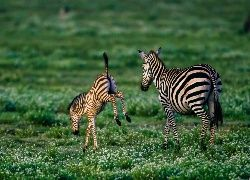 Zebry, Sawanna, Afryka