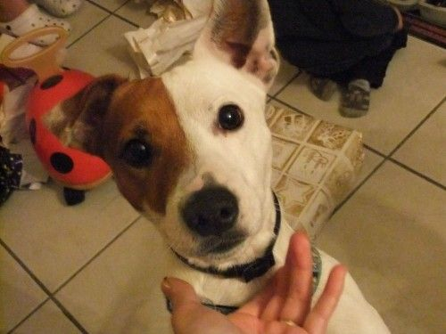 Donne Jack Russel - Chiens a donner
