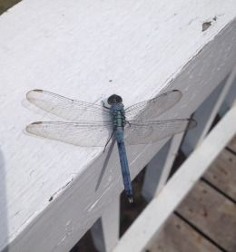Brilliant Dragon fly at the cottage!