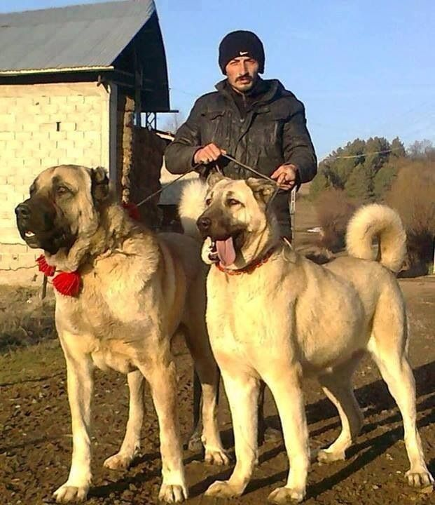 ... Love Anatolians on Pinterest | Anatolian shepherd, Kangal dog and Dogs
