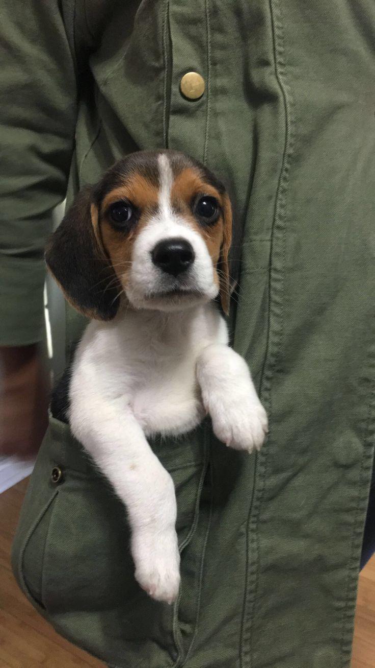 Pocket Beagle Beagle puppy, Pocket beagle, Beagle dog