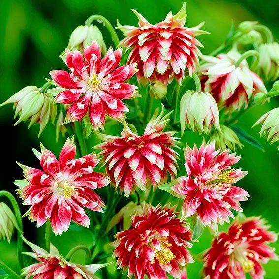 244 besten Blumen \ Kräuter Bilder auf Pinterest Blumen, Stauden - gartenpflanzen
