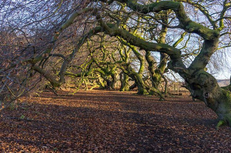Die Süntelbuchenallee in Bad Nenndorf ist ein schönes Fotomotiv. Die Bäume winden sich in bizarren Formen und es gibt keinen Ast, der gerade ist.