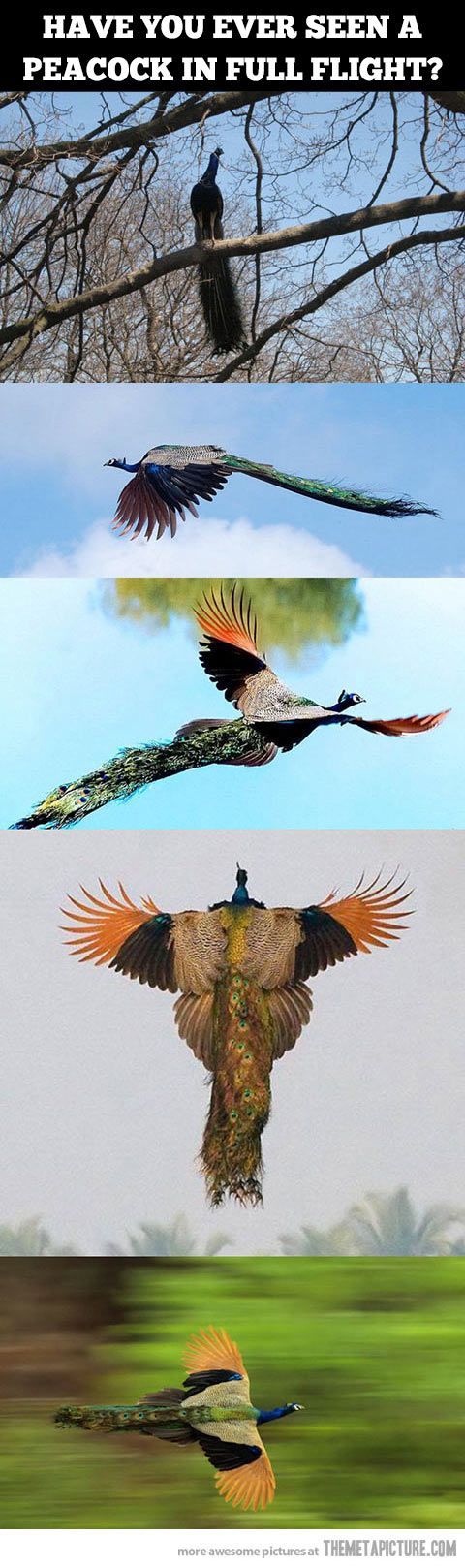 Peacocks in full flight�