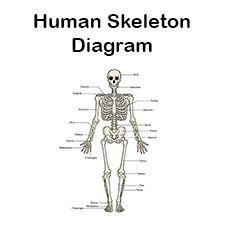 Die besten 25+ menschliches Skelett beschriftet Ideen auf