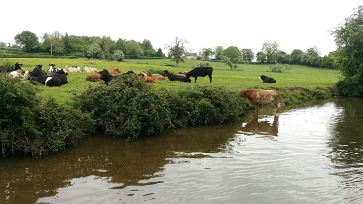 You never know what's around the next corner! Cows in the Llangollen Canal! For a holiday with a difference book with ABC Boat hire www.abcboathire.com