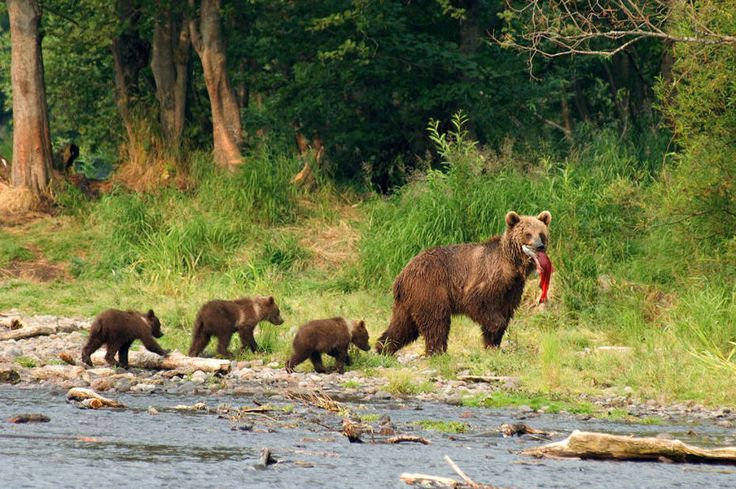 Бурые медведи на Камчатке. Brown bears on Kamchatka.