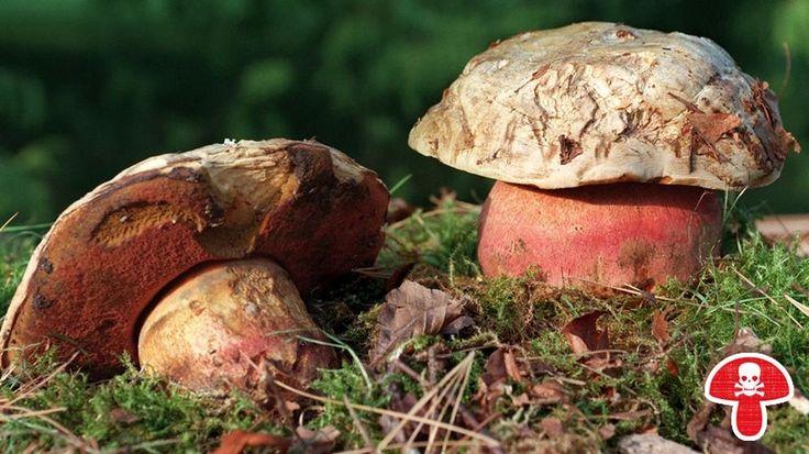 34 best essbare pilze images on pinterest fungi mushrooms and mushroom fungi. Black Bedroom Furniture Sets. Home Design Ideas