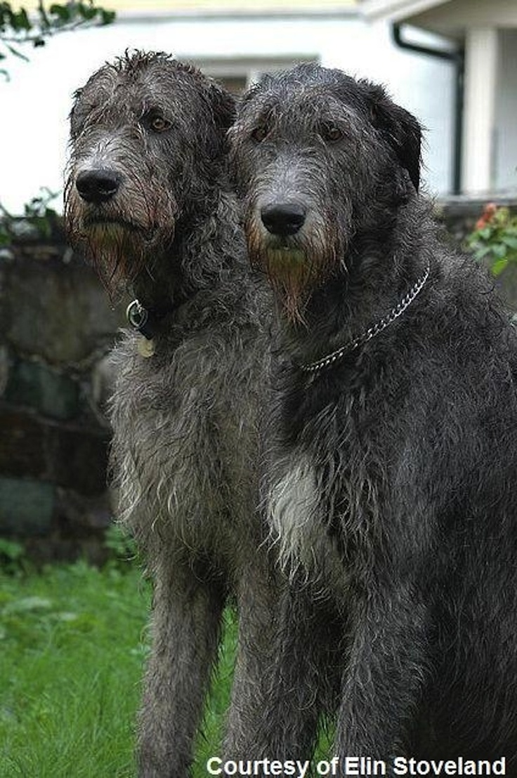 37 Best Irish Wolfhound Pictures Images On Pinterest
