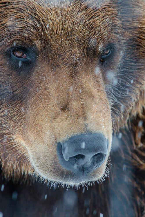 ternpest: (via 500px / Snowy Alaskan Brown Bear by Kyle Moffat)