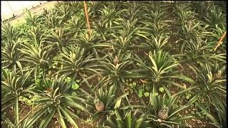 SIMPLY MING VODCAST 1011: The Azores - Pineapple Plantation  On this very special SIMPLY MING vodcast, Ming takes us to the island of Sao Miguel in the Azores where he learns the unique way that Azoreans grow their delicious pineapples!  #Portugal