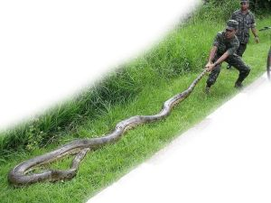 The Green Anaconda is a non venomous snake, and the heaviest snake in the world.