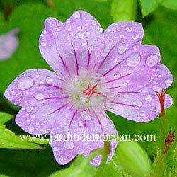 GERANIUM NODOSUM une plante vivace du Jardin du Morvan, la pépinière de Thierry DENIS