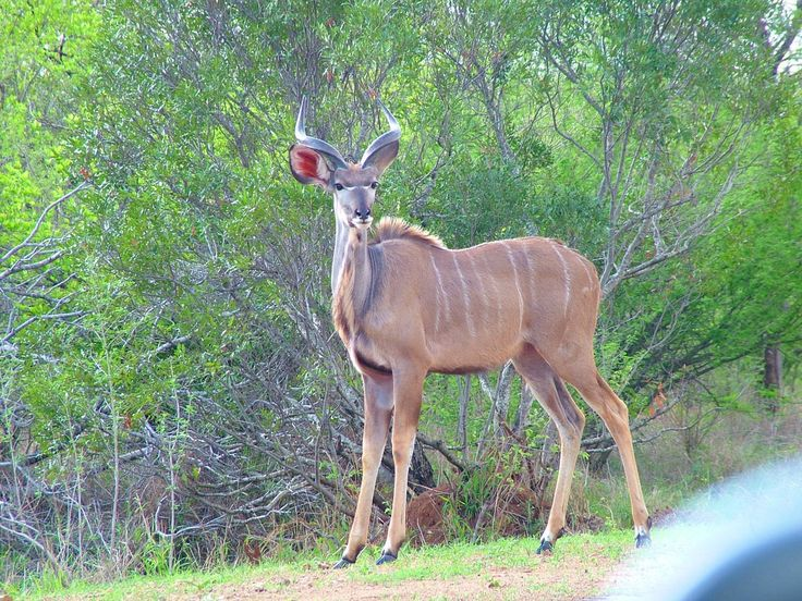 A Kudu stands along a dirt road in Kruger National Park.